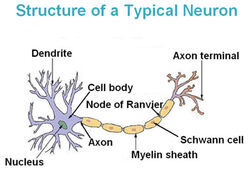 Neuron