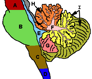 CerebellumRegions