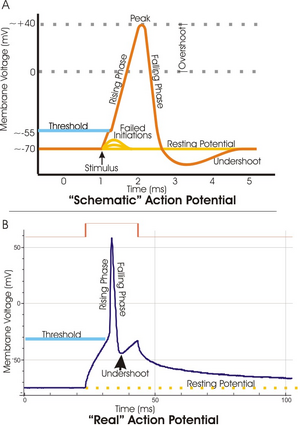 Action potential vert