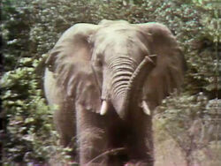 Elephant film