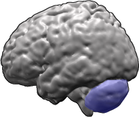 Brain-cerebellum