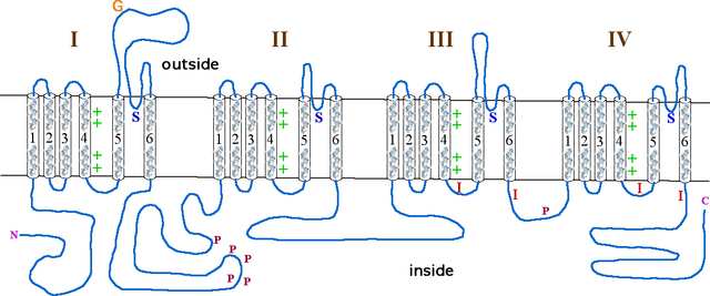Alphasubunit sodium channel