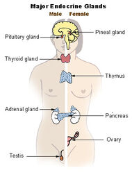 Illu endocrine system