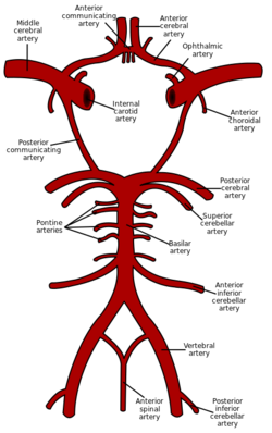 Circle of Willis en
