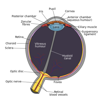 Schematic diagram of the human eye en