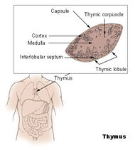 Illu thymus