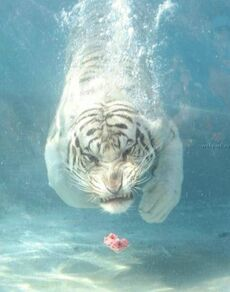 DivingTiger