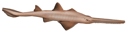 Sawfish