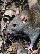 Rattus norvegicus 1