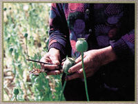 Harvesting opium