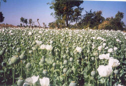 Malwapoppy
