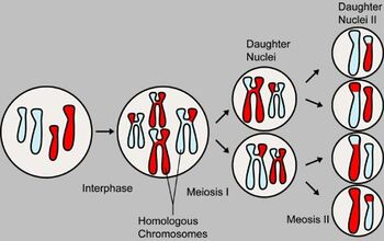 MajorEventsInMeiosis