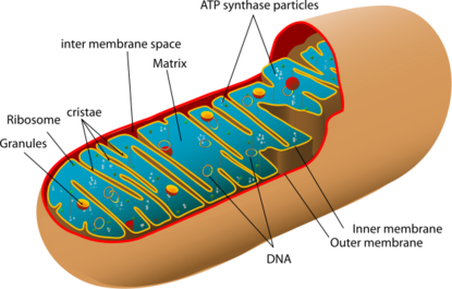 Diagram of a human mitochondrion