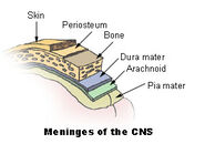 Illu meninges