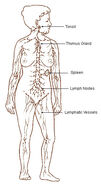 Illu lymphatic system