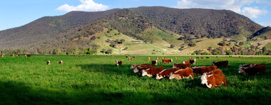 Cows in green field - nullamunjie olive grove03