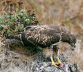 Hawk eating prey.jpg