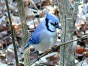 Blue Jay-27527