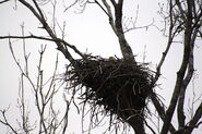 Bald eagle nesting