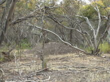 Malleefowl mound