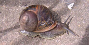 European brown snail