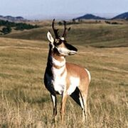 Pronghorn Wind Cave NP