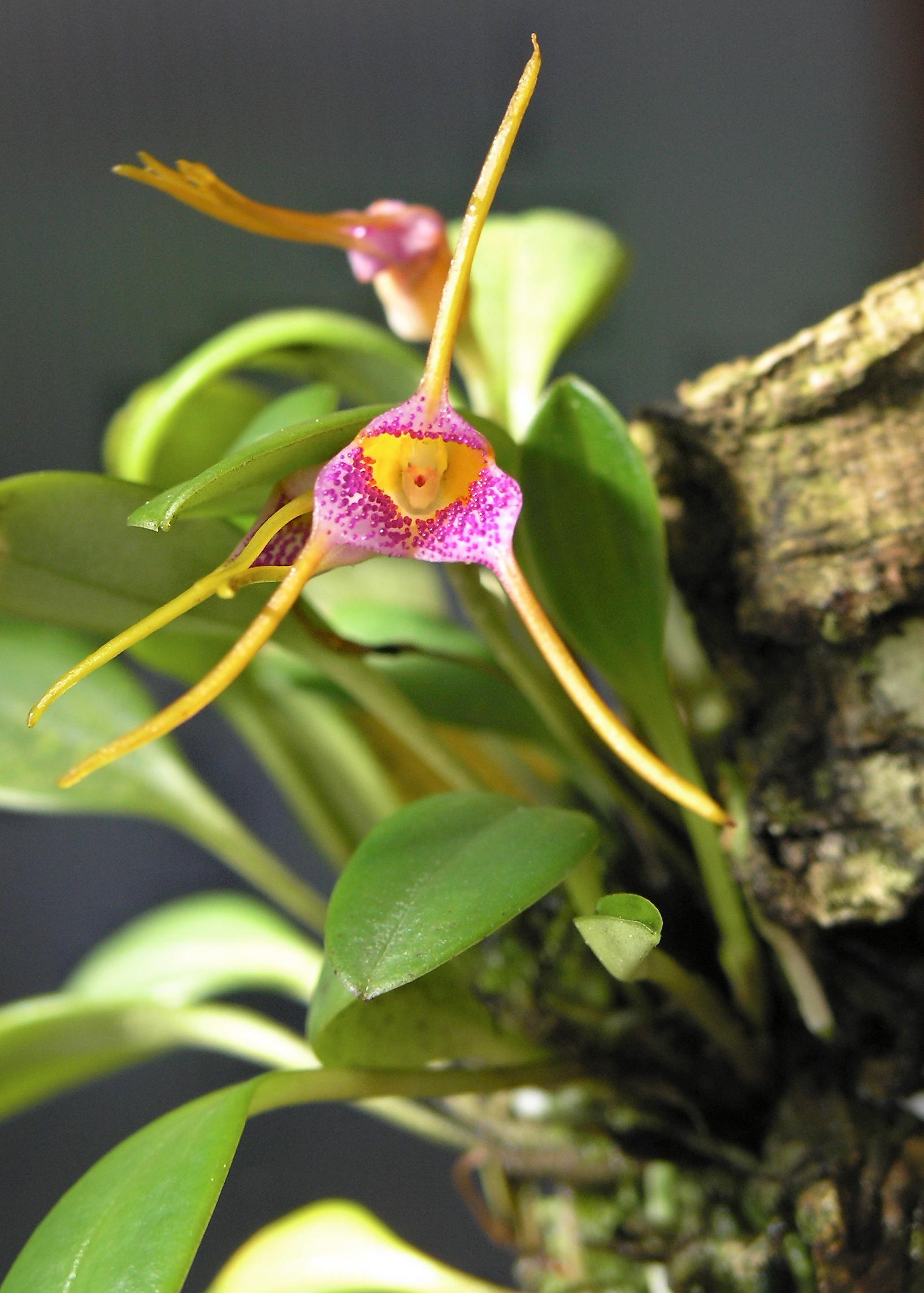 http://images2.wikia.nocookie.net/__cb20071209002352/orchids/en/images/1/1a/Masdevallia_confetti.jpeg