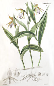 Cypripedium arietinum plate