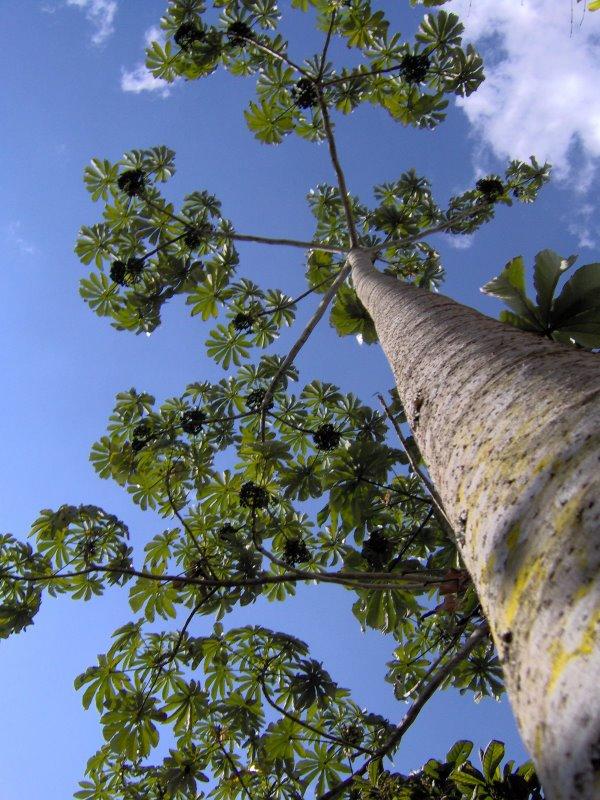 アマゾンツリーグレープ (Pourouma cecropiifolia)