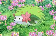 P11 Shaymin en un campo de flores