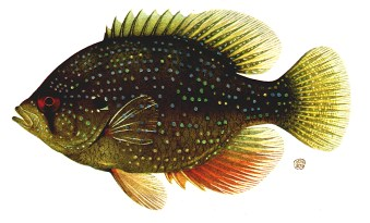 Sunfish