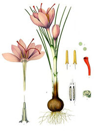 Crocus Sativus