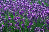 Lavender field-6740