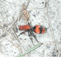 Velvet ant 9118