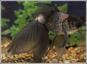 Cola de velo - eGoldfish