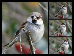 Photo Shoot- Male House Sparrow