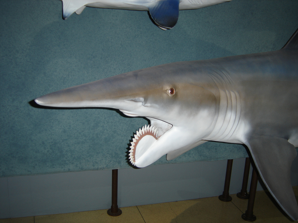 Helicoprion shark