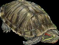 Red eared Slider Trachemys sripta elegans Turtle Wiki