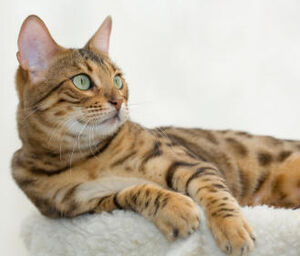 Bengal cat 2