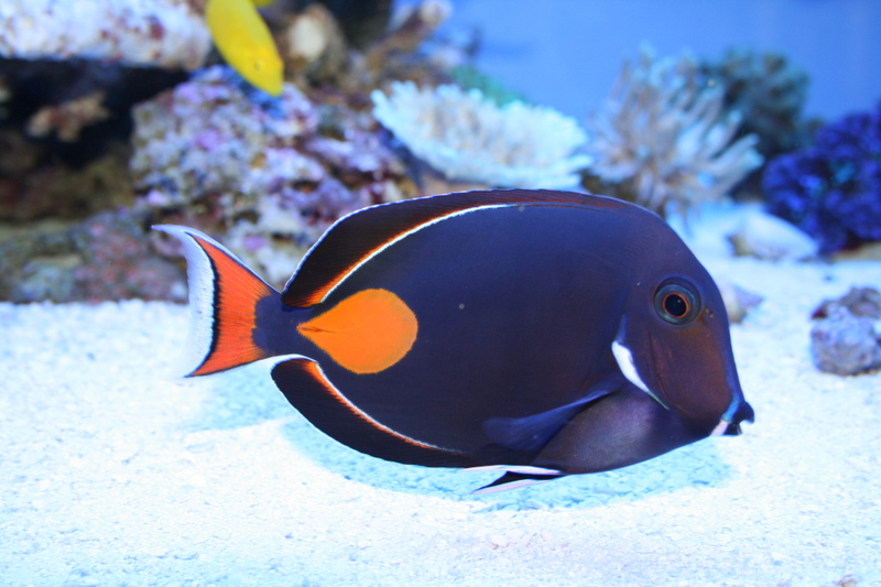 Achilles Tang (Acanthurus achilles) | Better Know a Fish!