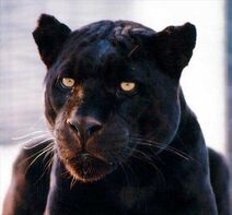 Blackjaguar big