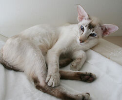 Fawn Tabby Point Siamese