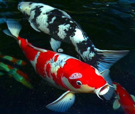 Image real life koi club penguin wiki the for Real koi fish