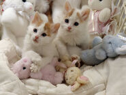 Little Turkish Van kitties