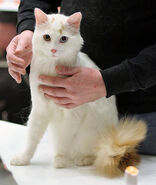 White Turkish Van