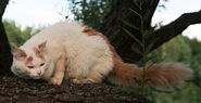 Cream Turkish Van