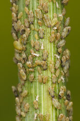 Aphids feeding on fennel