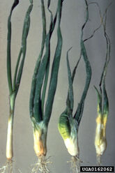 Onion Bulb Stem Nematode