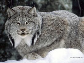 external image 272px-Lince_canadense_canada.jpg