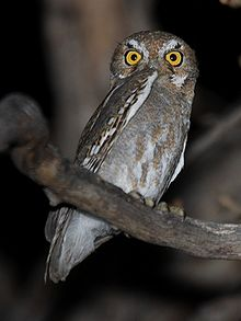 Elf Owl